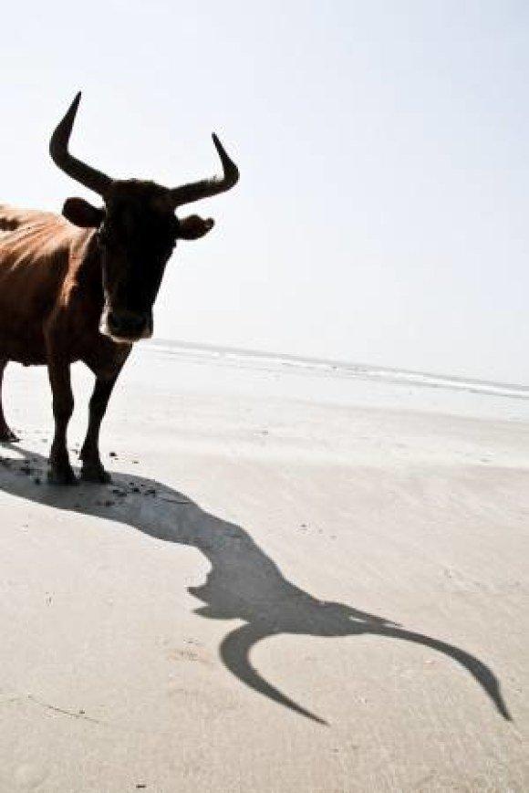 boston proper taurus bull