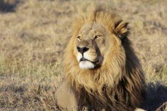 bproper lion